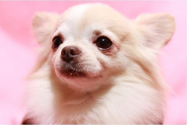 犬の肥満細胞腫!グレード(悪性度)による予後や余命など!