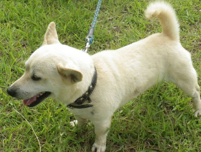 沖縄の大東犬を飼うには?希少な地犬の購入価格やブリーダーは?