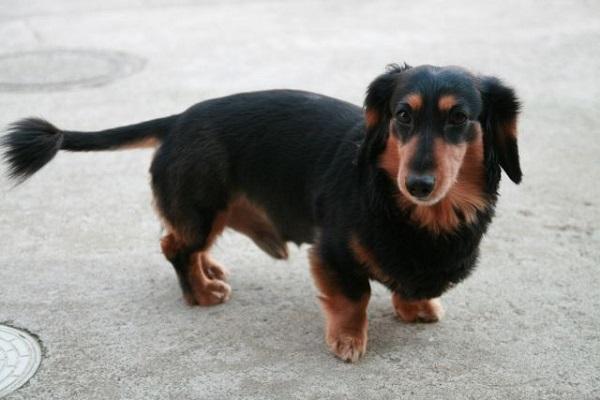 犬の癌にアガリクスの効果は?効能や抗がん作用などまとめ!