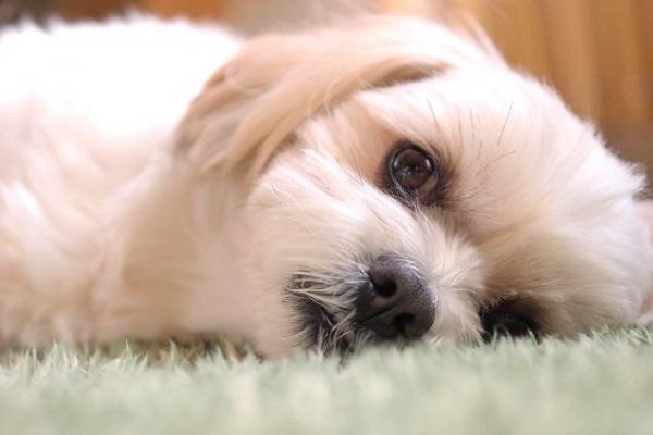 犬のリンパ腫!抗がん剤治療の効果や副作用、費用など!