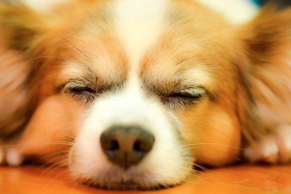 犬の肥満細胞種に分子標的薬イマチニブの効果や副作用は?