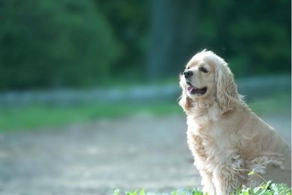 犬の認知症に漢方薬は有効?その役割と作用、効果について!