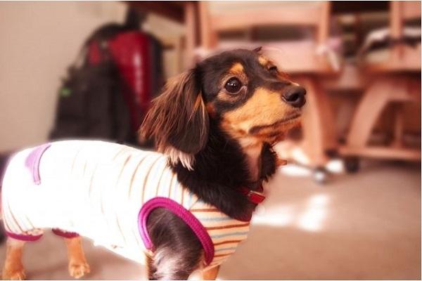 犬の癌が自壊(破裂)!痛みや出血,膿など症状や対処法まとめ!