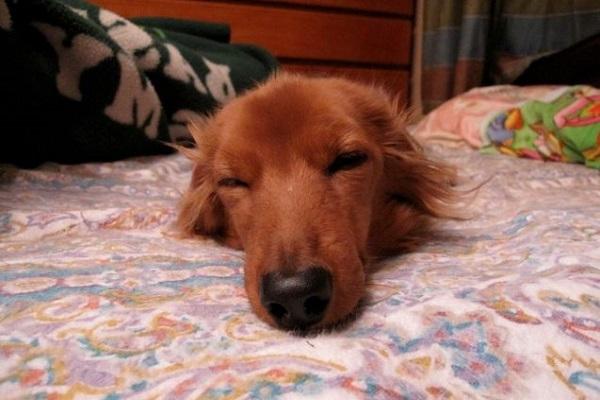 犬の扁平上皮癌の治療!鼻や口腔内の手術の選択や予後など!