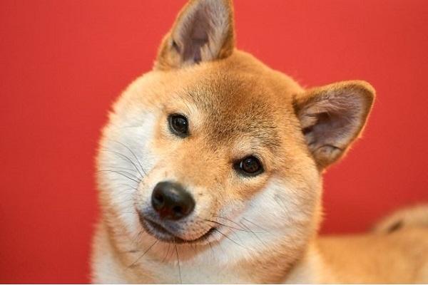 犬の認知症の初期症状は?前兆を見逃さないための簡単チェック!