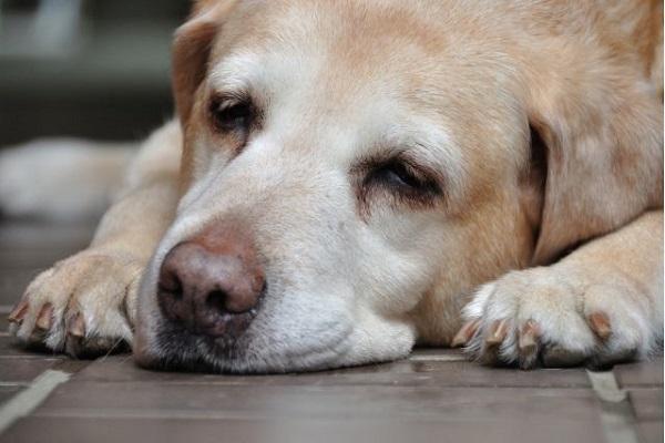 犬の認知症に効果的なサプリは?症状改善や進行の抑制など!