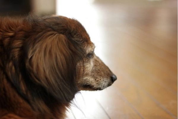 犬の乳がんが再発!治療や再手術の選択と予後について!