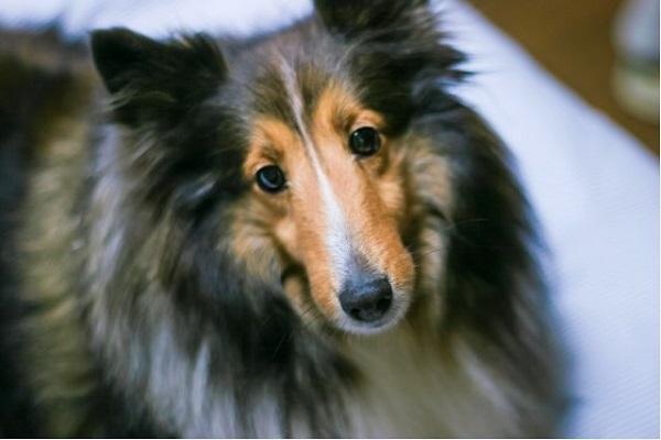犬の悪性リンパ腫!ステロイド治療の効果や抗がん剤との違いは?
