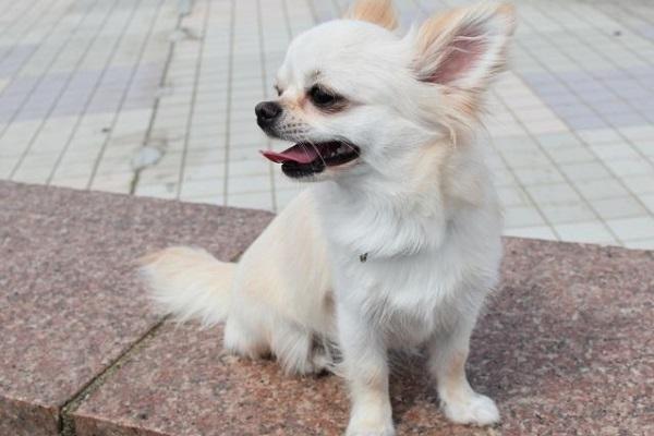 犬のアトピー治療の新薬アポキル錠の作用や効果、副作用など!