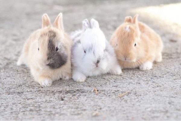 広島のうさぎ島(大久野島)観光とアナウサギの寿命や特徴など!