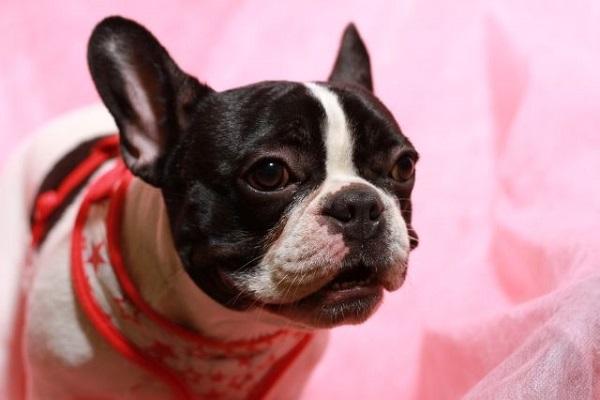 犬の肥満細胞腫の手術費用や術後の治療、予後について!