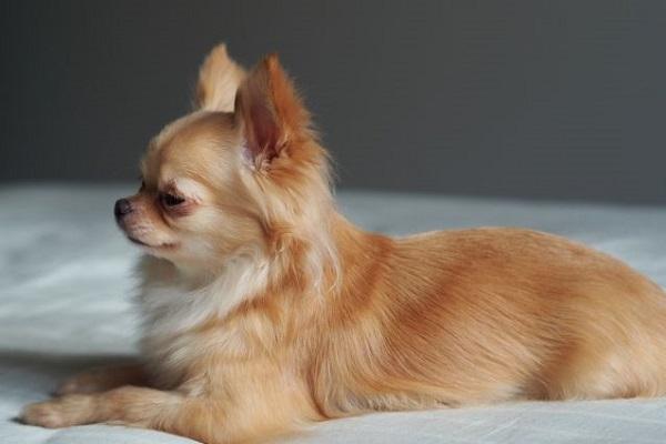 犬のクッシング症候群!皮膚異常や脱毛の原因と他の症状など!