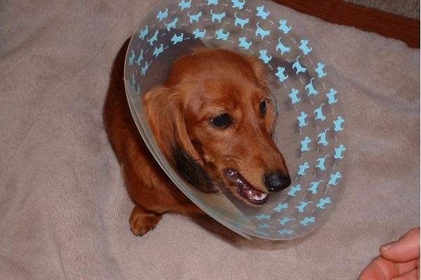 犬の避妊手術後のエリザベスカラー装着期間はいつまで?