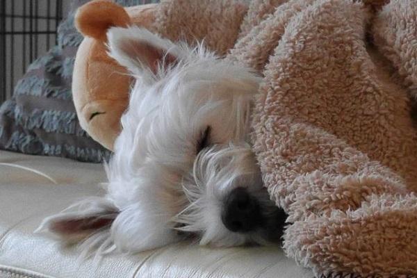 犬の乳がんの末期症状と延命や緩和治療、余命について!