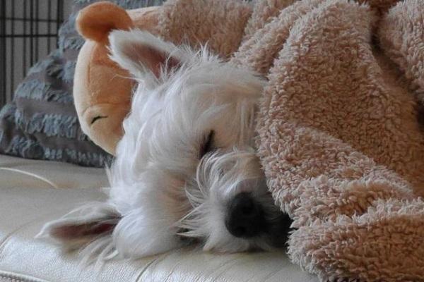 犬の甲状腺機能低下症の薬!チラージンの効果や副作用など!
