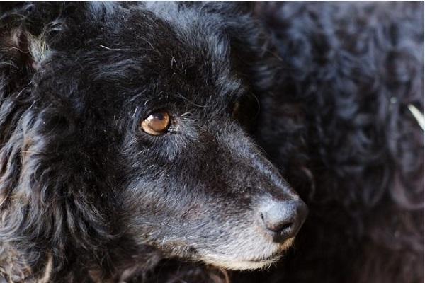 犬のクッシング症候群の治療薬!作用や効果と副作用について!