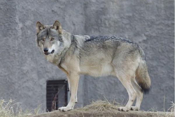 ウルフドッグの大きさや値段は?犬や狼との違いや飼育許可など!
