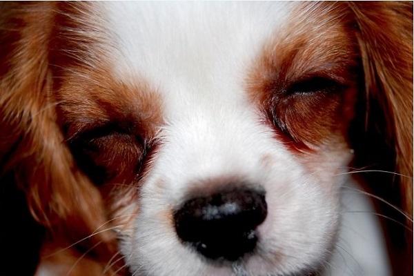 犬の想像妊娠!偽妊娠の原因や症状(行動や期間)と対処法など!