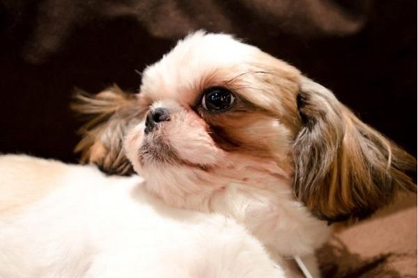 犬のアトピー治療の薬!抗ヒスタミン剤の種類や効果など!
