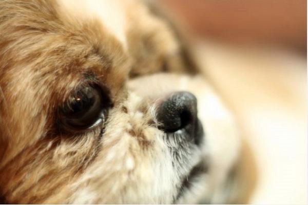 犬の子宮蓄膿症の手術費用や入院期間、術後管理や予後など!