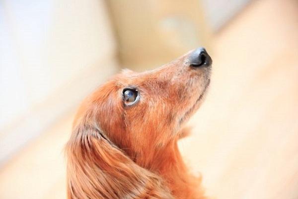 犬の甲状腺機能低下症の血液検査!費用や数値について!