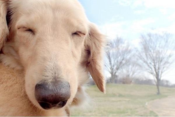 犬の眼球メラノーマの症状や治療、手術(眼球摘出)費用など!