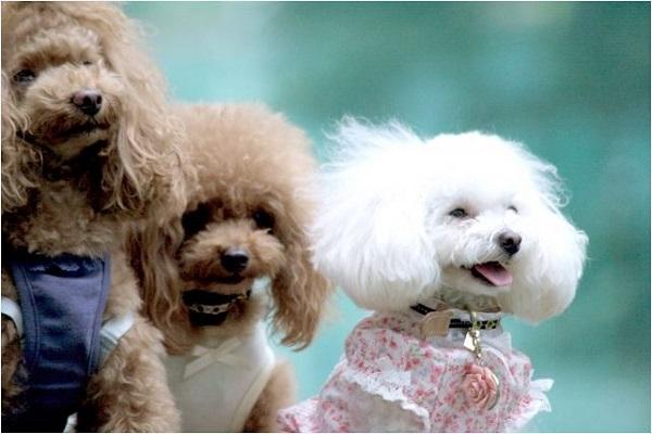 リングドッグのやり方とは?犬用ピローや衣装、リボンなど!