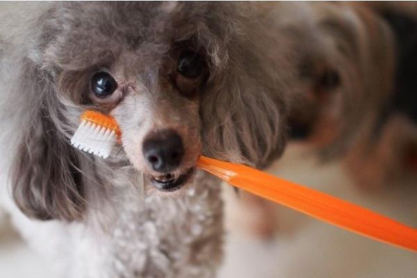 犬の歯磨きの重要性(大切さ)とは?寿命との関連性について!