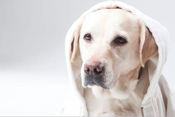 犬の去勢手術後の経過(痛みや腫れ,食欲や元気など)について!