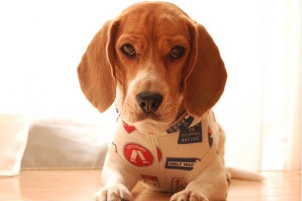ヒアリ探知犬の能力とは?ビーグルが最適な理由や訓練法は?