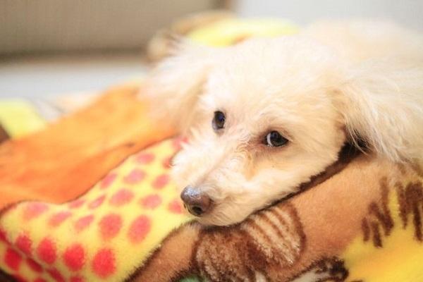 犬の風邪の治療法(薬や注射、点滴など)と自宅での対処法など!