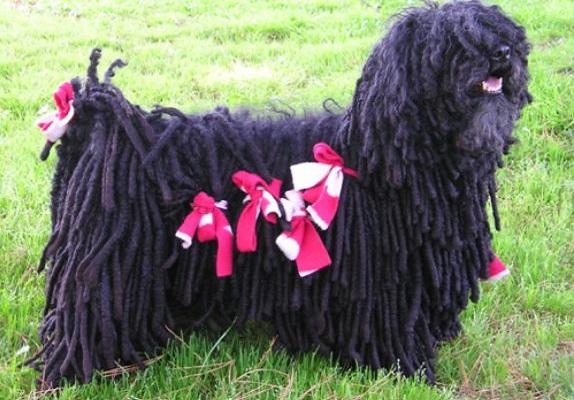 プーリー犬の値段や子犬画像とお手入れやトリミング料金など!