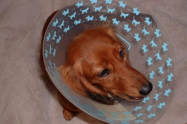 犬の癌による足の切断(断脚)!手術の経過や痛み、予後など!