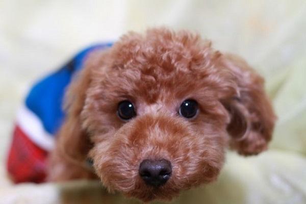 犬のパテラ(膝蓋骨脱臼)の原因と症状,グレードや治療法など!