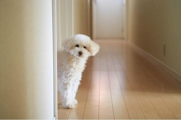 犬のパテラの手術の費用と術後の経過や予後について!