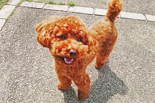 犬のパテラ!歩き方や運動、散歩などの制限や注意すること!