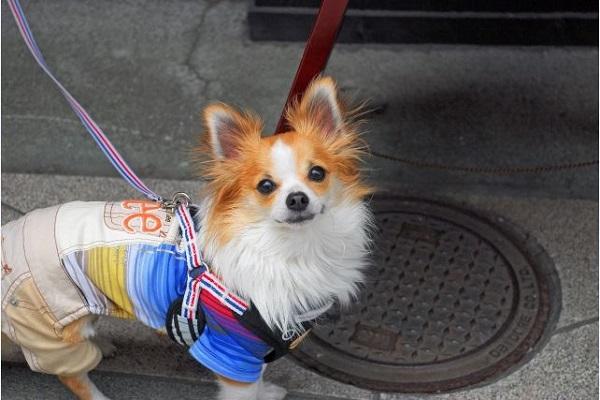 犬のパテラのケア用サポーターの有効性とリスクや注意点!
