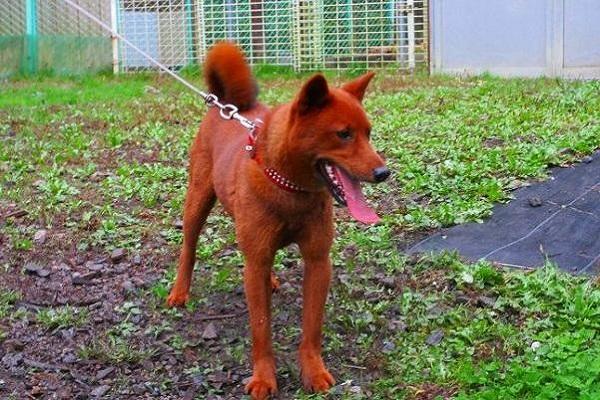 美濃柴犬の性格や特徴、価格やかわいい子犬画像などまとめ!