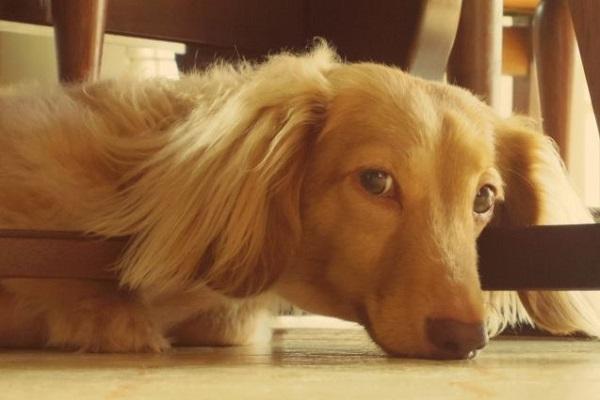 犬の椎間板ヘルニアの治療!ステロイドの効果や副作用など!