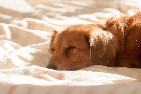 犬の椎間板ヘルニアにおける再生医療の方法や効果、費用など!