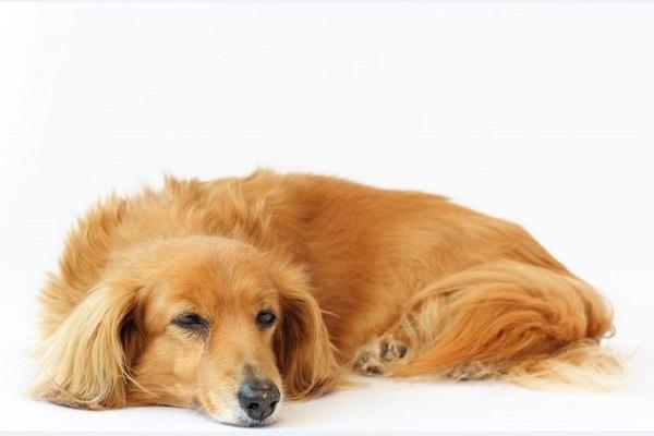 犬の椎間板ヘルニアのレーザー治療!効果や頻度、期間など!