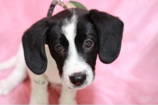 犬の膀胱炎は発情期(ヒート中)になりやすい?原因や対処法など!