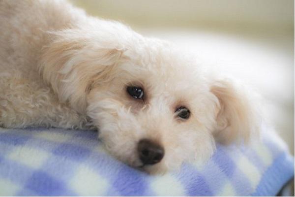 犬の膀胱炎の痛みと対処法!排尿時に鳴く,触ると嫌がるなど!