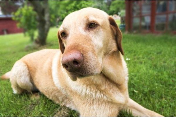 犬の股関節脱臼の原因や症状(痛みや歩き方)と治療について!