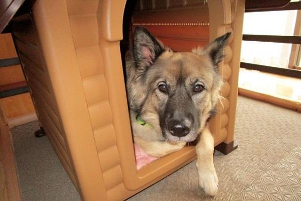 犬の股関節脱臼の骨頭切除!費用や手術後の経過について!
