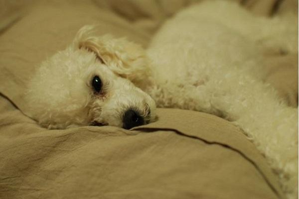 犬のてんかん!重積発作の状態と治療や対処法について!