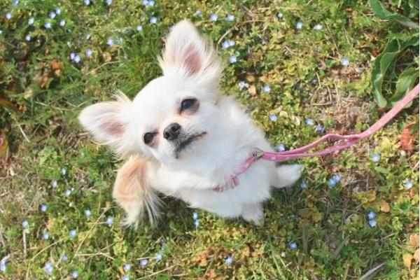 犬のフィラリアの症状!初期~末期の体の状態と咳や嘔吐など!