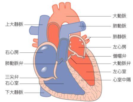心臓の仕組みと働き・心臓の大きさ【医学でポン】