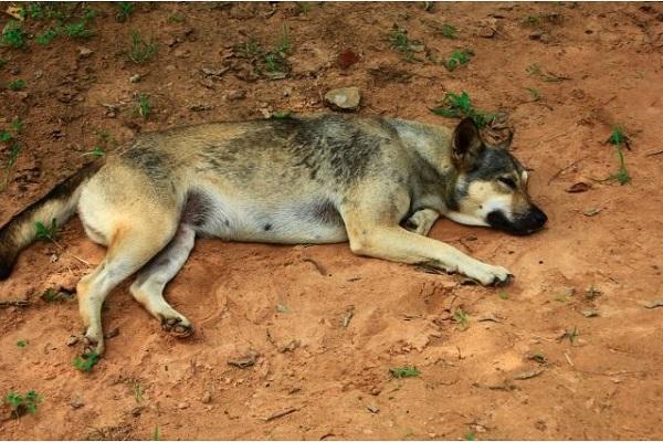 犬が狂犬病に感染した場合の症状や潜伏期間、致死率など!