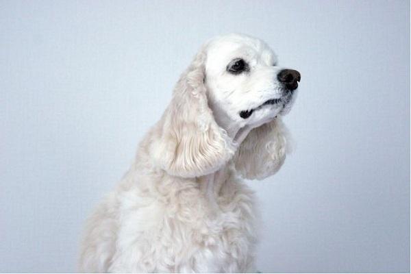 犬の外耳炎の治療法や通院期間、かかる費用などまとめ!